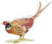 446_pheasant