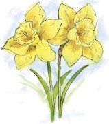 461_daffodils