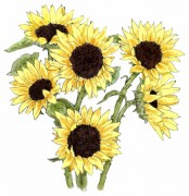 586_sunflowers